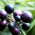 Maqui Berry for weight loss